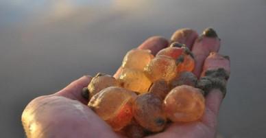 Hàng nghìn sinh vật lạ giống thạch dẻo dạt vào bờ biển California