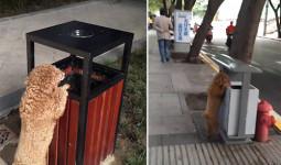 Chú chó thấy rác ngoài đường là nhặt bỏ vào thùng