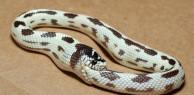 Con rắn kỳ quặc tự cắn xé, quằn quại bản thân đến chết