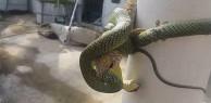 Bất phân thắng bại: Khi rắn độc không thể há mồm ăn thịt con mồi