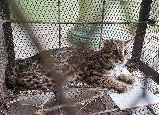 Vận động người dân bàn giao 1 cá thể mèo rừng quý hiếm