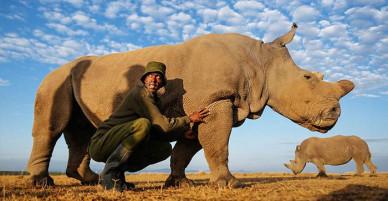 Chú tê giác trắng phương Bắc cuối cùng của Trái đất và 'lời khẩn cầu' đầy xúc động