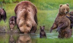 Ấm lòng khoảnh khắc gấu mẹ dịu dàng chở hai gấu con qua dòng suối nhỏ