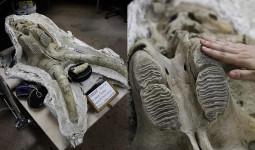 """Mỹ: Tìm ra hóa thạch voi ma mút """"khủng"""" vạn năm tuổi"""
