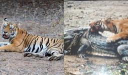 """""""Nữ hoàng hổ"""" sống 2 thập kỷ, giết chết cá sấu khổng lồ 4,3 mét"""