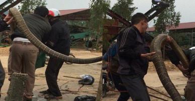 Kiểm lâm nghi có người mang rắn hổ mang chúa đến thả rồi bắt lại để tạo sự kiện