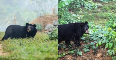 """""""Giải phóng"""" 3 cá thể gấu ngựa gần 20 năm bị nuôi nhốt"""