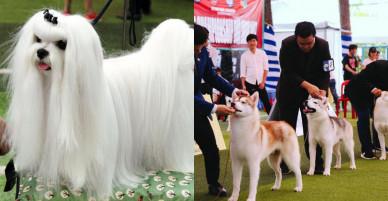 """Ngắm chó """"quý tộc"""" giá ngàn đô đi thi """"hoa hậu"""" tại Sài Gòn"""