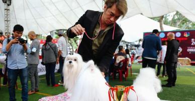 Ngắm những chú chó quý tộc giá nghìn USD tại Dog show 2017 ở Sài Gòn