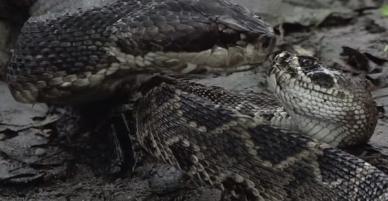 Giỡn mặt tử thần, rắn đuôi chuông bị kẻ thù làm thịt không thương tiếc