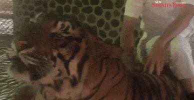 Clip: Nhân viên sở thú liên tục chọc gậy vào mặt hổ, du khách thản nhiên ngồi sau cười cợt chụp ảnh