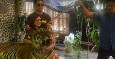 Nhân viên sở thú Thái Lan cầm gậy chọc hổ để khách chụp hình
