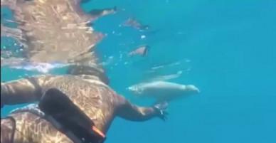 Kinh ngạc sư tử biển vẫn bơi lượn sau khi bị cá mập đớp 1/3 người