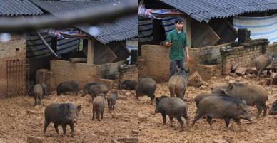 """Độc đáo với trang trại lợn rừng """"gọi ăn"""" bằng tiếng còi xe máy"""