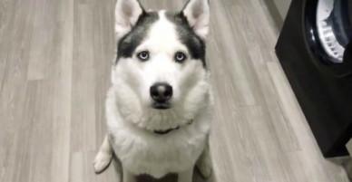 Chú chó Husky tỏ tình I love you với chủ khiến dân mạng phát cuồng