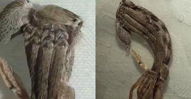 Mở cửa nhà, người phụ nữ kinh ngạc khi phát hiện quái vật lông lá khổng lồ 8 chân đang lột xác