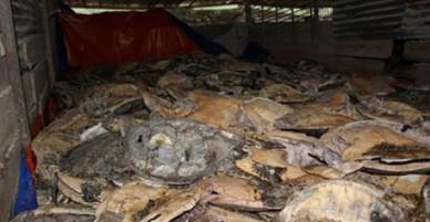 Nha Trang: Mở lại phiên toà xét xử vụ buôn bán rùa biển lớn nhất trong lịch sử