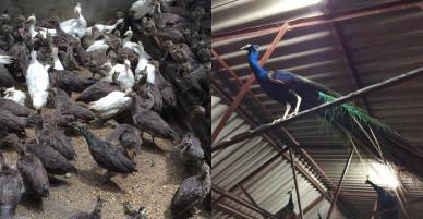 """Nuôi con gì bán Tết: Chăm loài chim đẹp nhất thế giới, chưa Tết đã """"cháy hàng"""""""