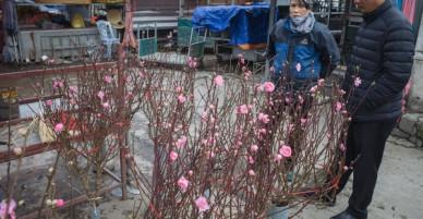 Người dân làng đào Nhật Tân: Từ giờ đến Tết mà rét thế này thì đào không nở hoa kịp mất!