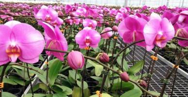 Lao đao vì hoa lan nở trước Tết cả tháng
