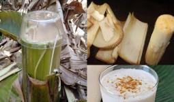 Bài thuốc chữa bệnh tiểu đường, thoát vị đĩa đệm, sỏi thận từ cây chuối hột có thực sự lợi hại như nhiều người truyền miệng?