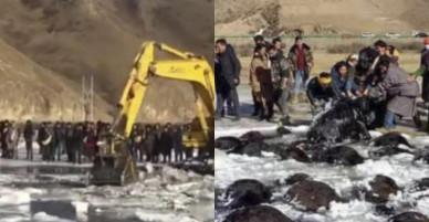 """Hơn 100 bò Tây Tạng chết """"bất đắc kỳ tử"""" vì giá rét ở TQ"""