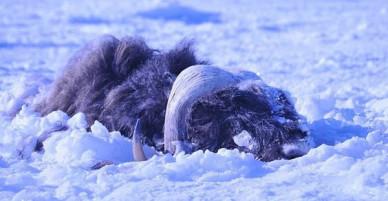 Bão tuyết cực mạnh tràn qua, 52 con bò xạ vốn thống trị vùng băng giá cũng bị chôn sống, đóng băng đầy đau đớn