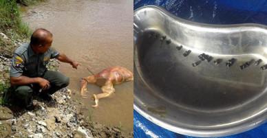 Indonesia: Đười ươi bị bắn 17 phát rồi chặt đầu