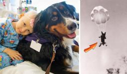Độc đáo 'liệu pháp Chó' và chuyện 'cô chó' biết nhảy dù được quân đội Mỹ tặng huân chương, tạc tượng vinh danh