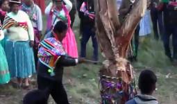 Bị cây đè chết khi tham gia lễ hội chặt cây