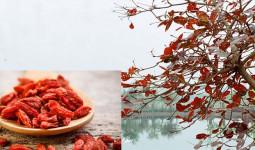 Cây bàng: Từ món ăn tinh thần đến vị thuốc dân gian