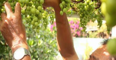 Vườn nho trĩu quả của lão nông Sài Gòn