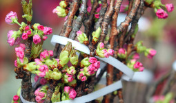10.000 cành hoa anh đào khoe sắc giữa Hà Nội