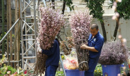 Hàng trăm công nhân tất bật chuẩn bị cho Lễ hội hoa anh đào tại Hà Nội