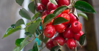 Không chỉ cho quả để ăn, cây nhót còn có những công dụng hữu hiệu thế này