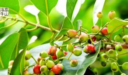 Thức trà bình dị và tác dụng chữa bệnh hiệu quả từ cây vối
