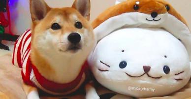 Ngôi sao cún cưng của Nhật: Suốt ngày mặc đồ đẹp, đi ngắm hoa anh đào rồi được chủ chụp ảnh sống ảo