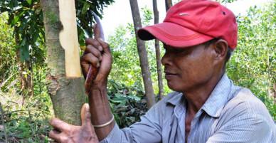 Nông dân dùng xương trâu bóc vỏ quế Trà Bồng - VnExpress