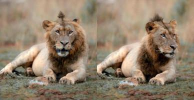 """Sư tử có """"kiểu tóc ăn chơi"""" gây sốt mạng"""