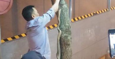 Bắt được rắn hổ mang khủng ở sân chơi chung cư Hà Nội
