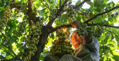 Trèo cây cao hơn chục mét hái quả dâu da ở Đồng Nai