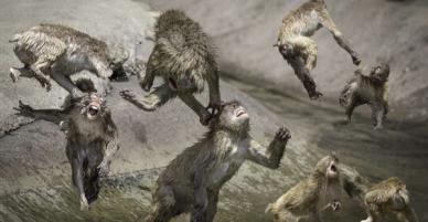 Hai chú khỉ đánh nhau tóe lửa giữa công viên Nhật Bản để tranh chức Mỹ Hầu Vương
