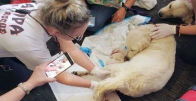 Mỹ: Một con chó đang chuẩn bị lên máy bay thì trở dạ đòi đẻ, tất cả mọi người xúm vào giúp cho mẹ tròn con vuông