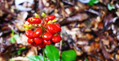 Vườn sâm tốt nhất thế giới trên núi Ngọc Linh