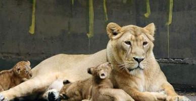 Sư tử xổng chuồng, khách tham quan phải nấp trong công viên Bỉ