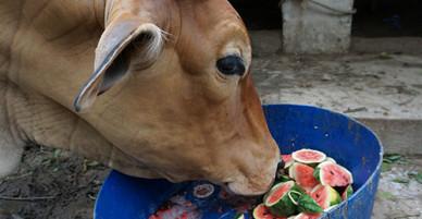 Nông dân Thanh Hóa hái dưa hấu cho bò ăn sau bão