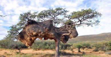 Tổ chim nặng gần 1 tấn nằm trên cây với 500 chú chim sẻ trú ngụ