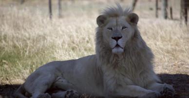 Bí mật động trời về cách tên tội phạm người Việt săn lùng hơn 40 con sư tử trong 2 ngày